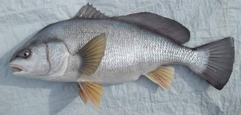 FRESHWATER DRUM (SHEEPSHEAD)