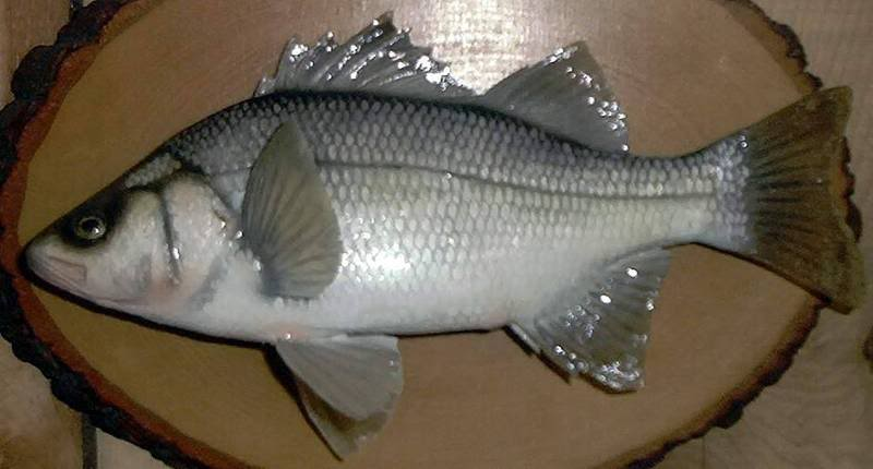 "WHITE PERCH - 9.5""X 6.5""- .5 LB. LT"